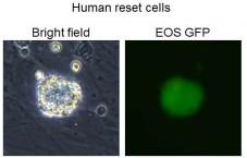 stem-cell-reset
