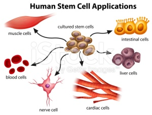 human-stem-cell