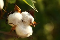 cotton-615103_1920
