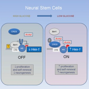 Neuronal Stem Cells