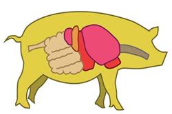 pig-organ