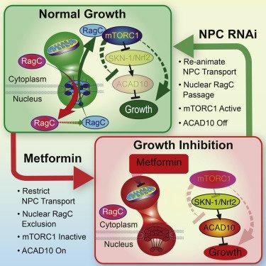 metformina-cancer