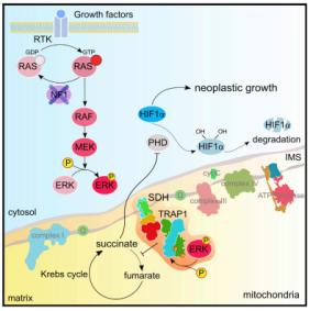 mitocondri-rasola
