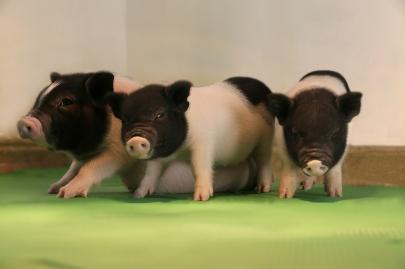 pigs_0