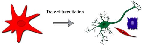transdifferenziazione