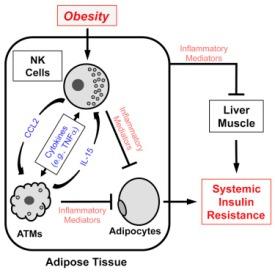 obesity-natural-killer-cells