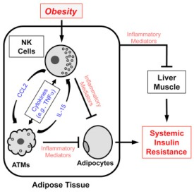 obesity-natural-killer-cells
