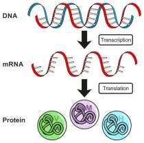 DNA-RNA-Proteine