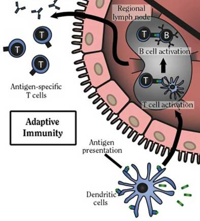 dendritic-cell-adaptive-immunity
