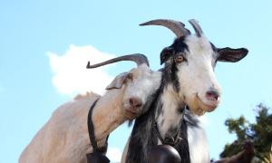 news-goats