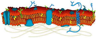 Cell_membrane